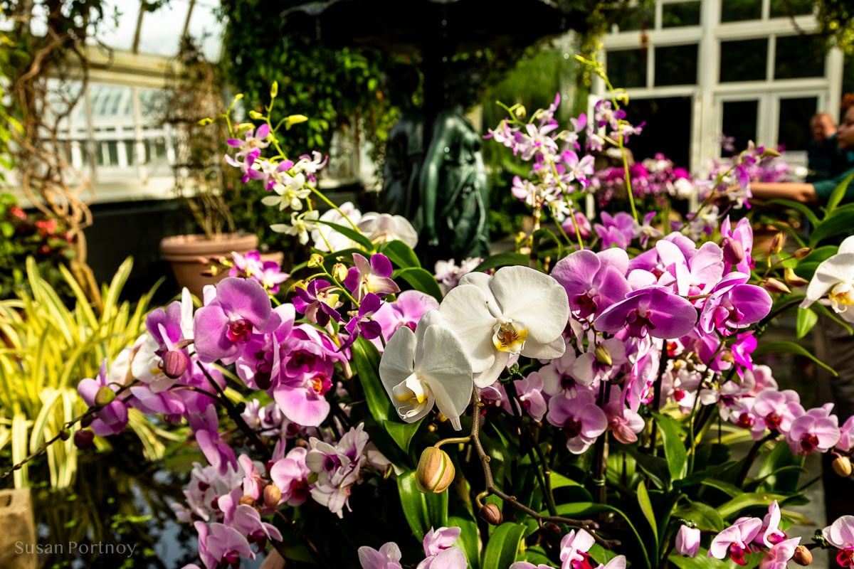 Orchid in New York Botanical Garden in the Bronx - NYBG_Orchid_Singapore-900B151020190308