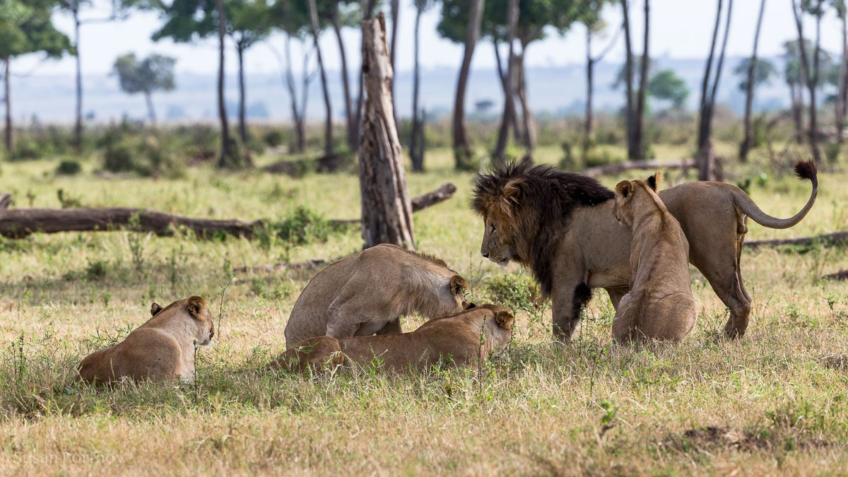 Scarface the lion in the Masai Mara with his sub adult cubs