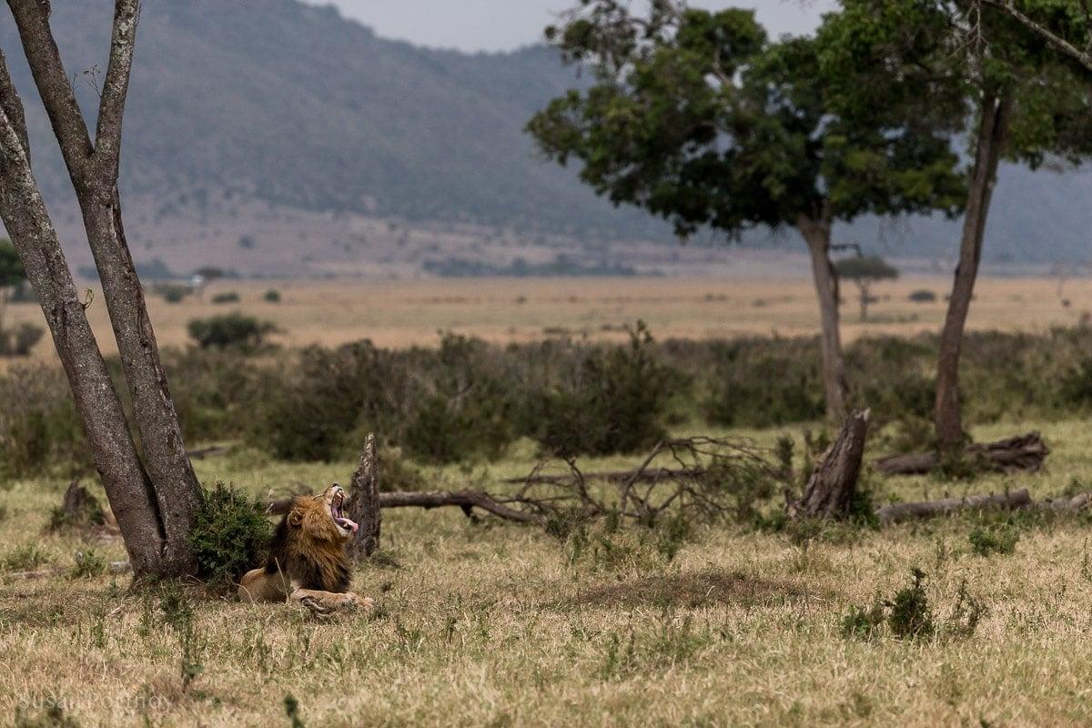 Scarface the lion in the Masai Mara