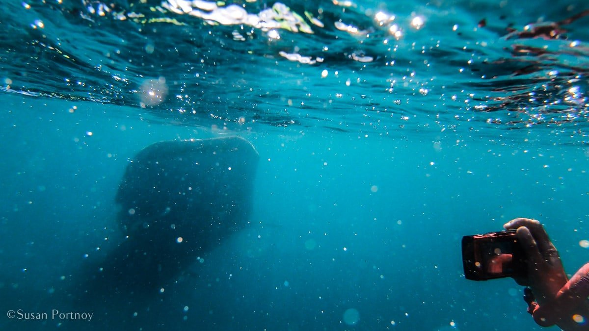 The large mouth of a whale shark approaches while a snorkeler with a red camera takes a picture.