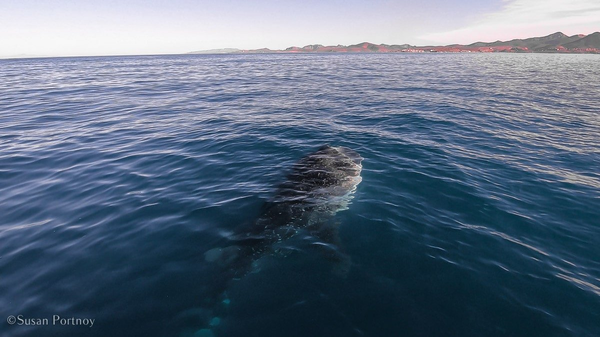 """A view from a boat overlooking a giant whale shark """"going vertical"""" feeding on fish."""