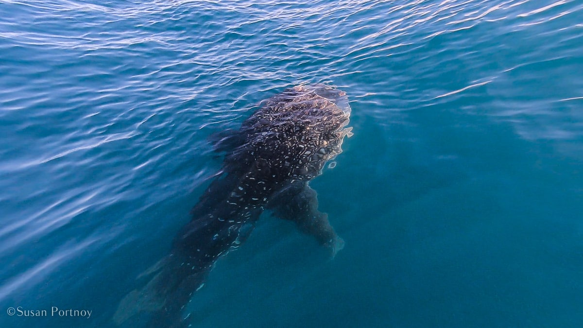 Whale shark under the surface of the Sea of Cortez