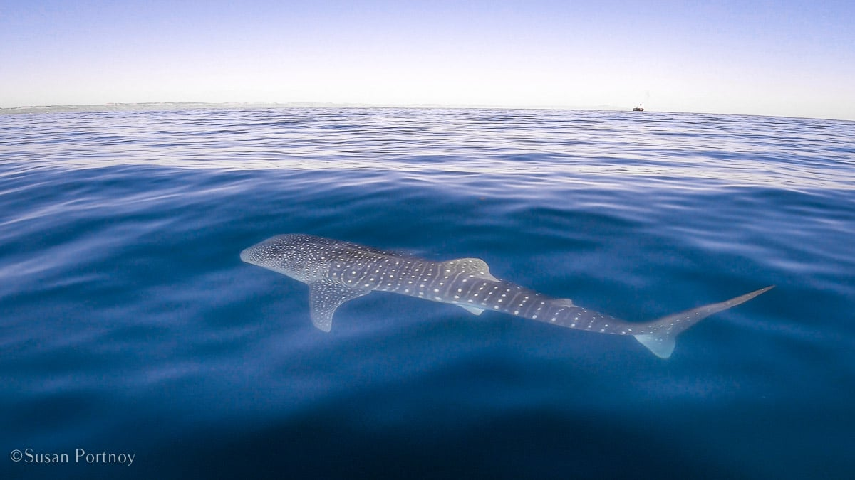 A view of a whale shark from above floating at the top of the water in Mexico.