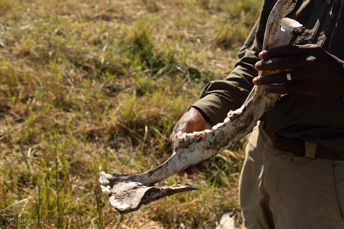 Man holding lower jawbone of buffalo skeleton