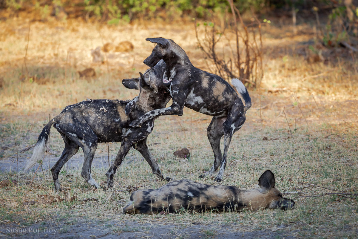 Wild dogs playing