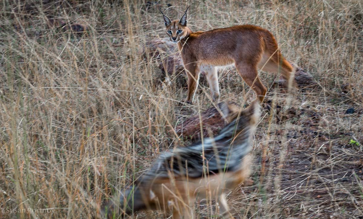 A caracal being chased by a black-backed jackal in Kenya