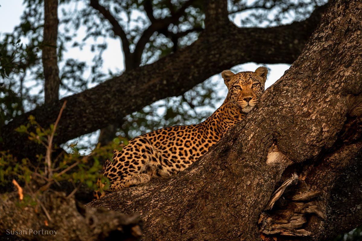 A leopard laying in a tree photographed during a Botswana Safari