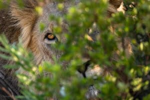 A lion peeking through some leaves