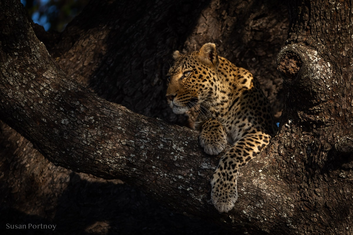 Leopard in a tree in Botswana during a safari tour