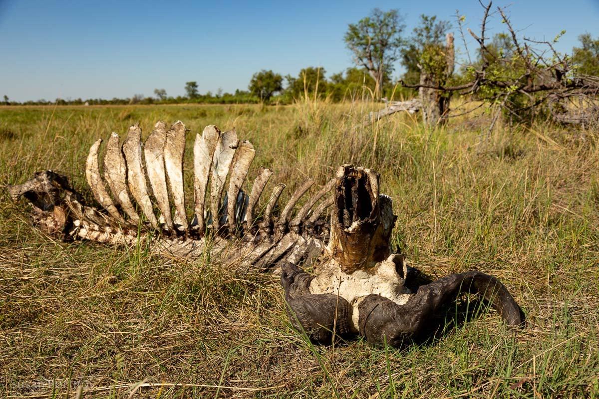 Buffalo Skeleton