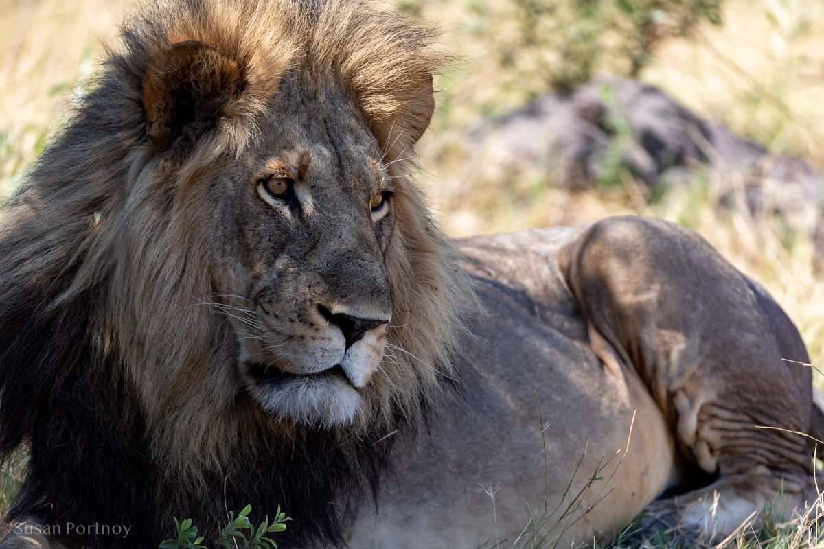 A lion sitting down in the shade