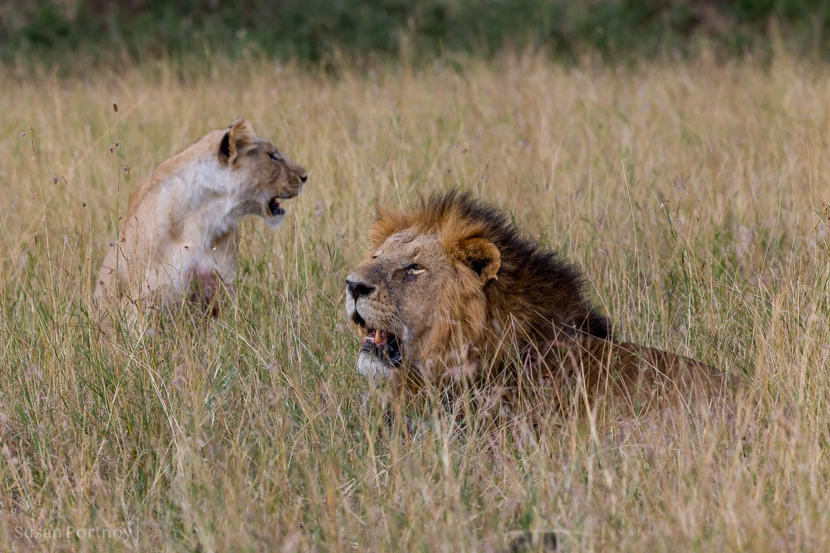 An example of Lion behavior. A male and female sit near each other in the grass.