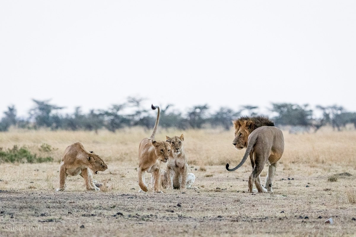 Dominant and submissive lion behavior between three female lions and a male lion in the Masai Mara One cringes another lifts her tale.
