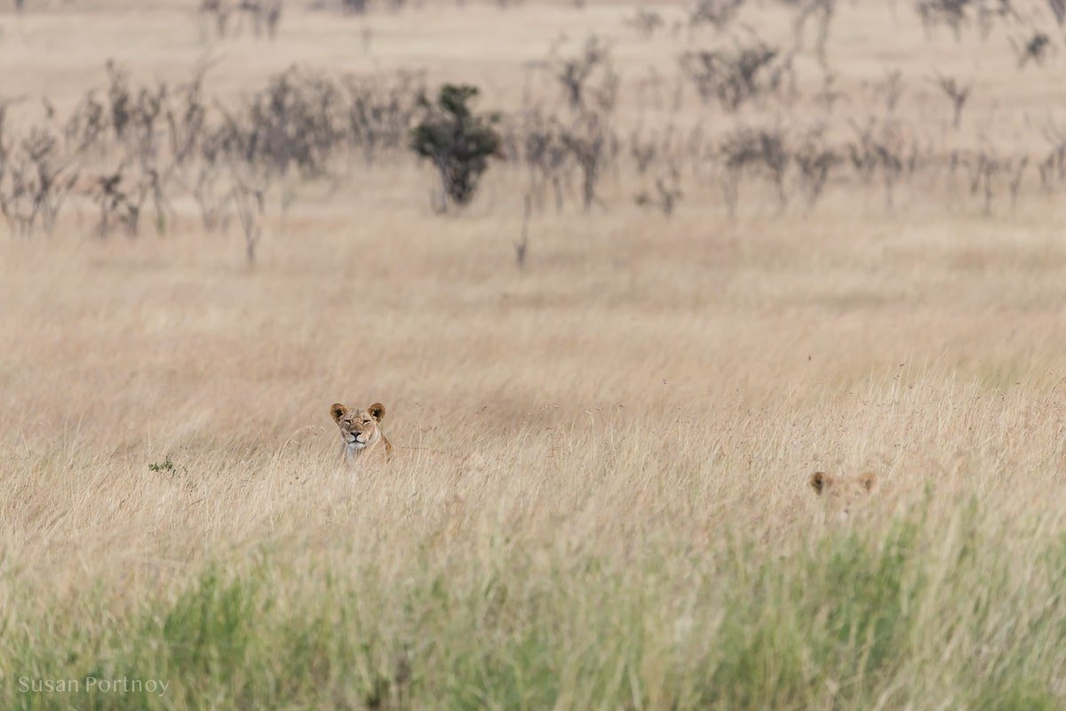 Two female lions heads peek out from the high grass in the Masai Mara, Kenya.
