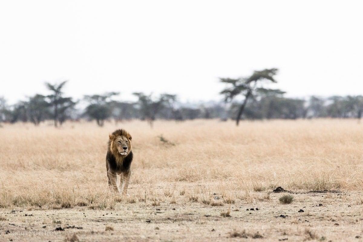Male lion standing on the plain Masai Mara National Reserve: Seen on a safari Game Drive