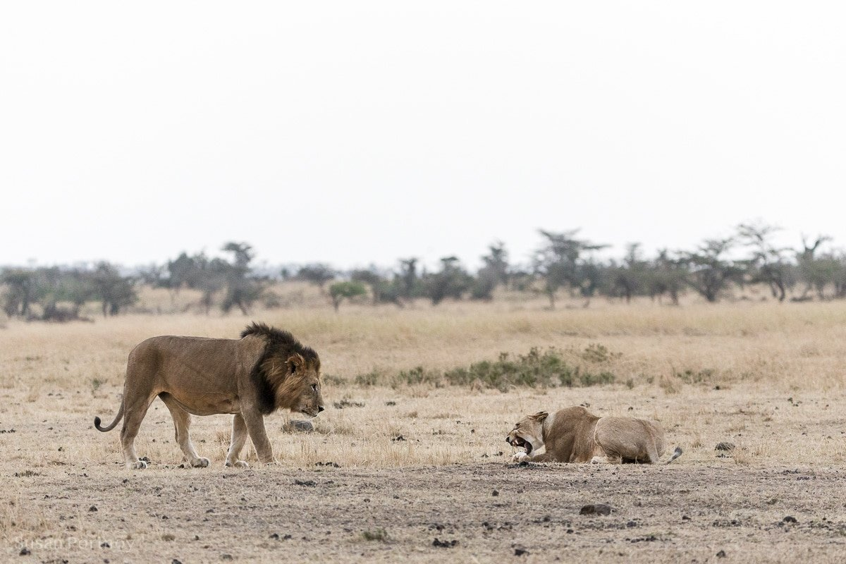 A male lion walking towards a lioness low to the ground in a perfect submissive and dominant behavior