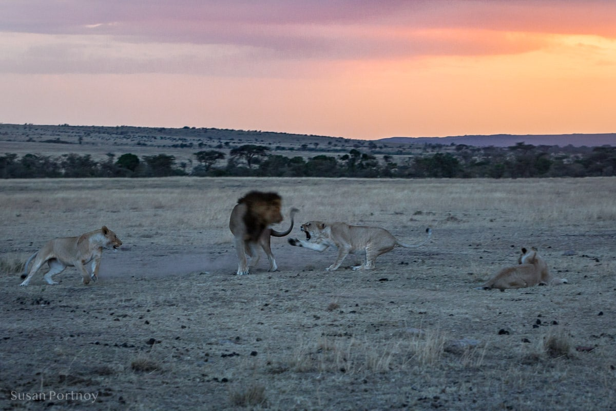 A female Lion swipes a paw at a male lion. Two other lionesses watch. Kenya.