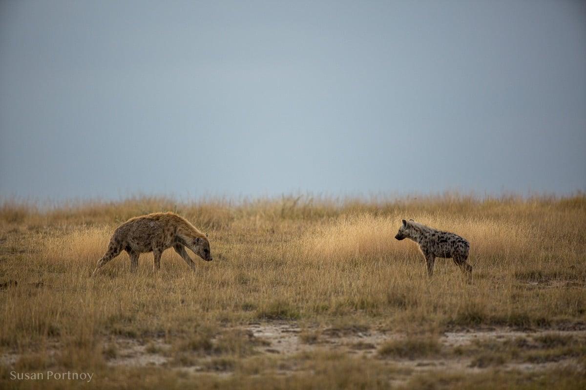 Two hyena