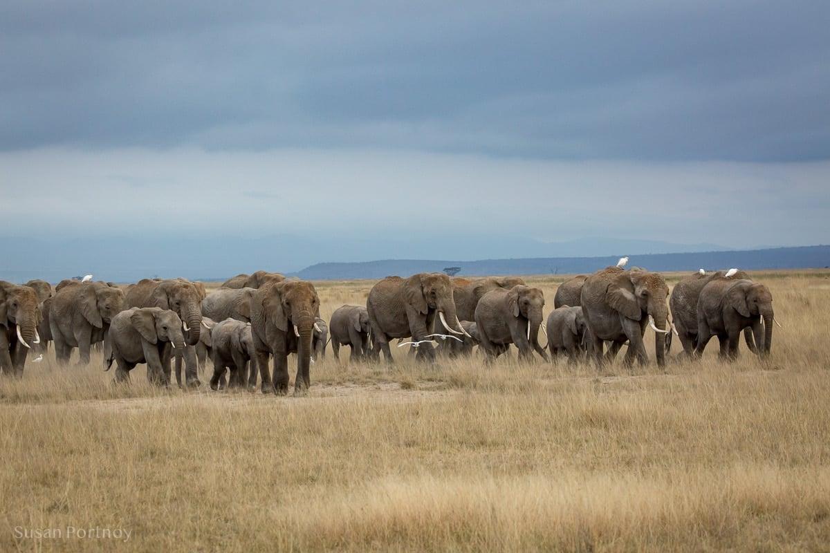 Large herds of elephants walking on the plains