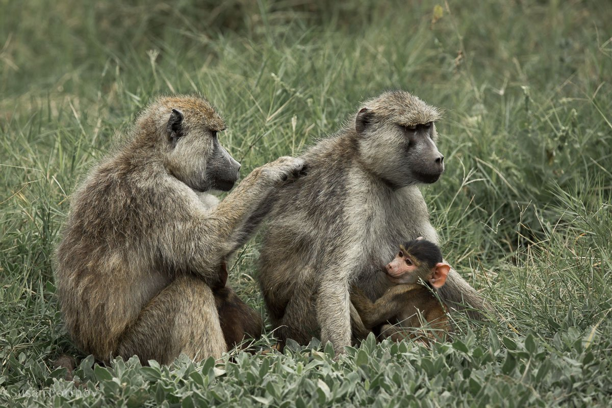 Two baboons and a baby baboon