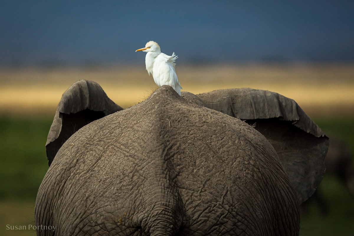 Back of an elephant with an egret on top
