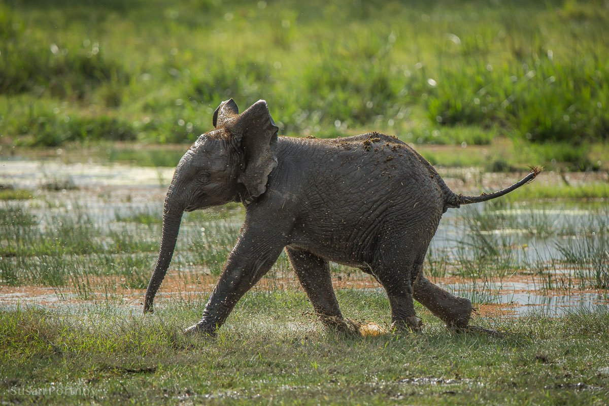 Baby elephant running in the swamp