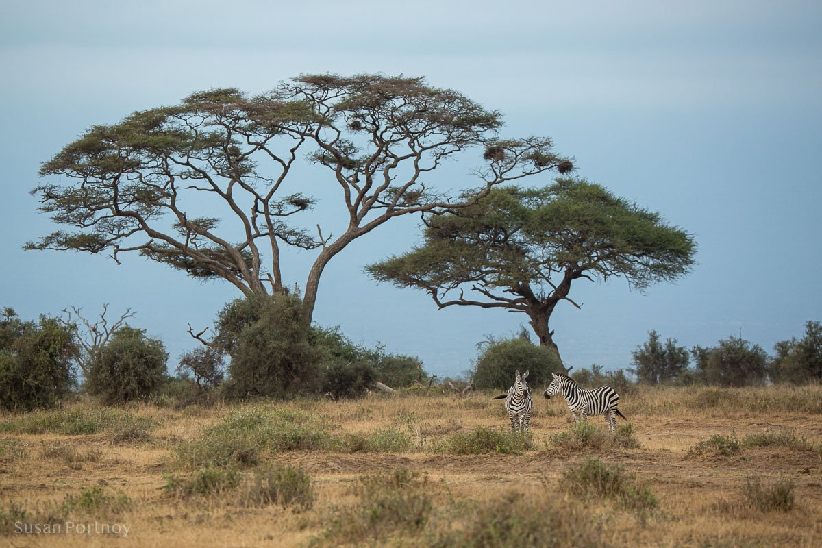 Two zebras in an acacia forest -