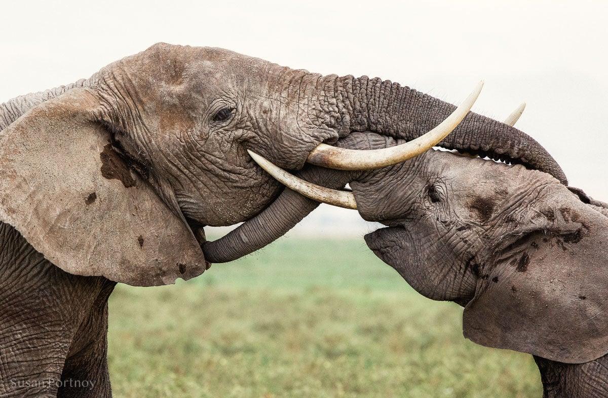 Two elephants trunk hugging -