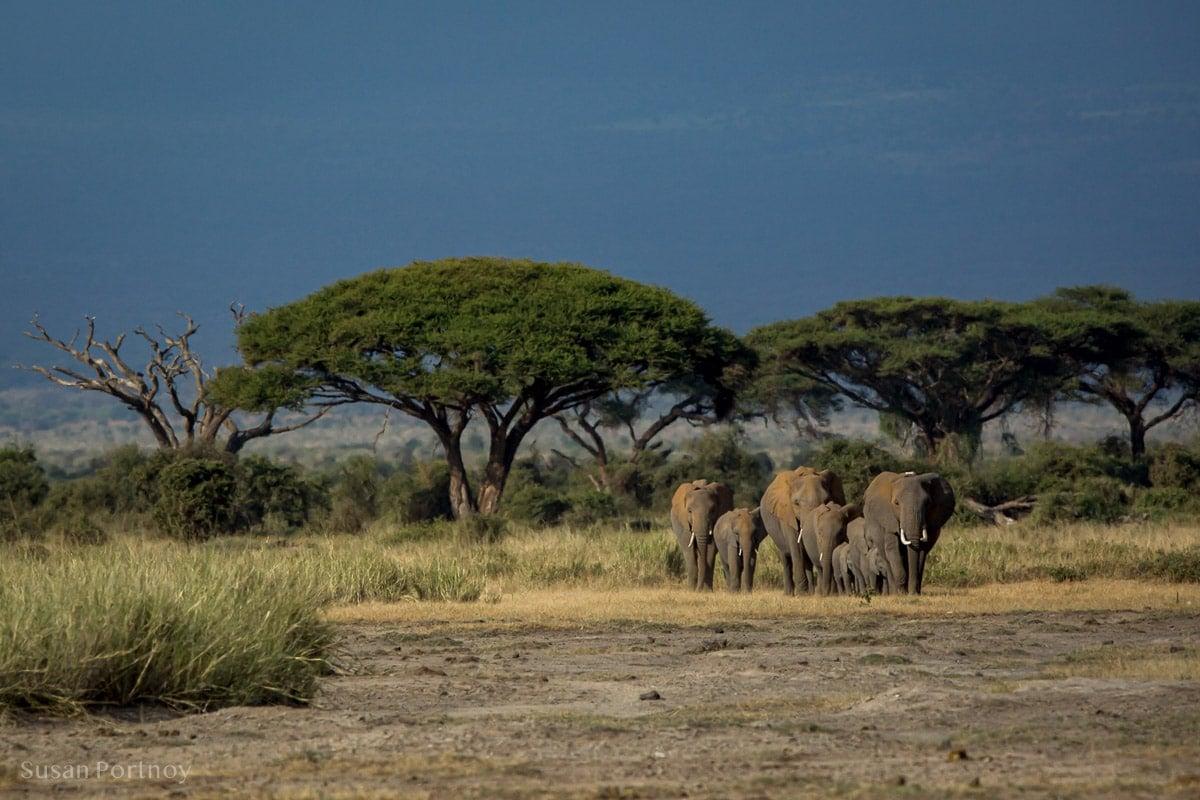 Close knit herd of elephants walking