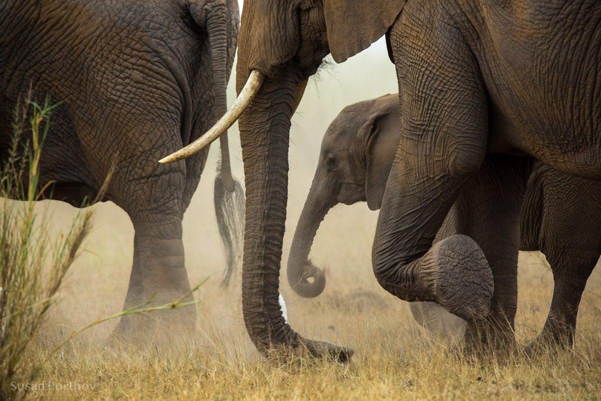 Herd of elephants walking in a dust cloud