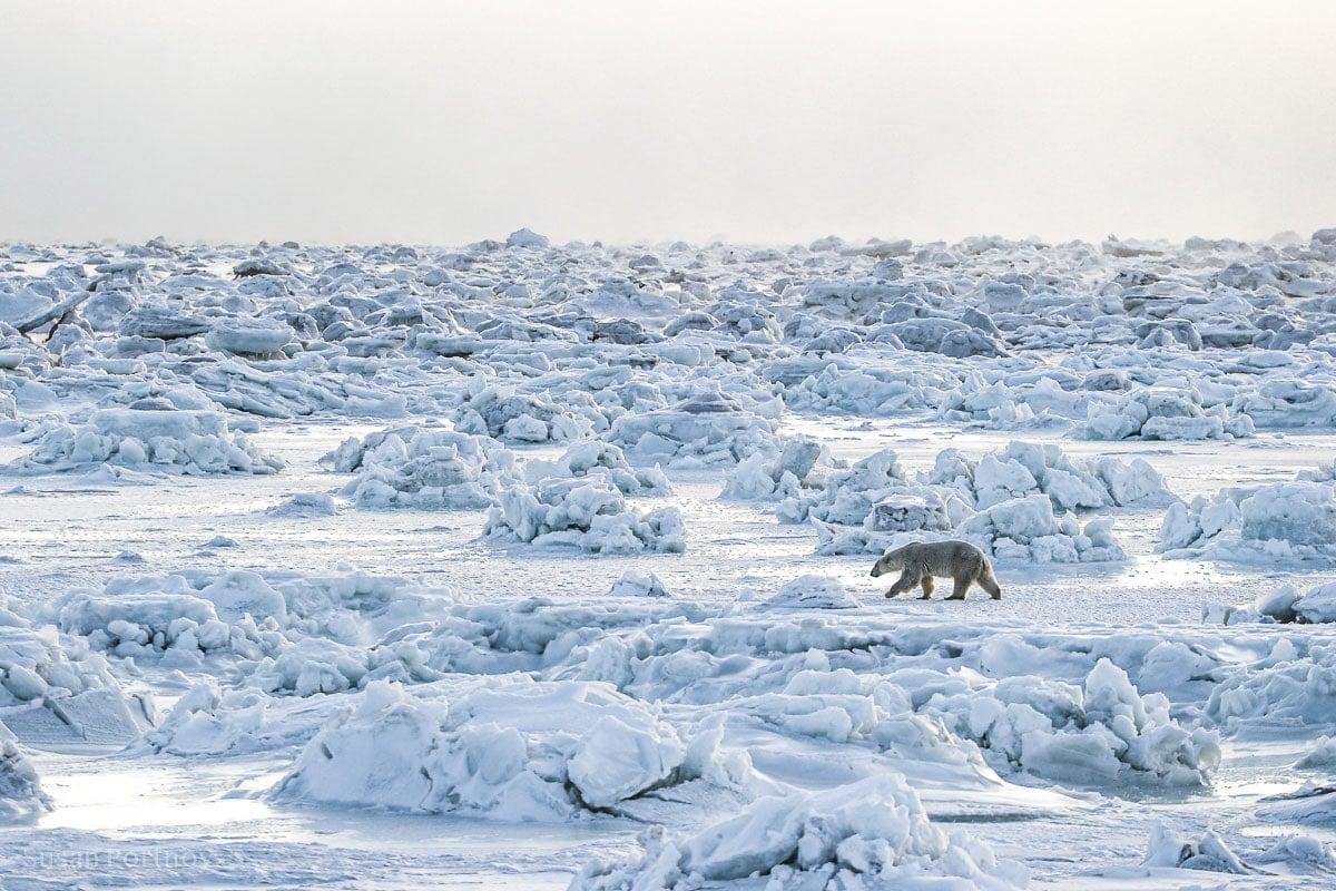 Polar bear walking across the ice in Manitobal, Canada