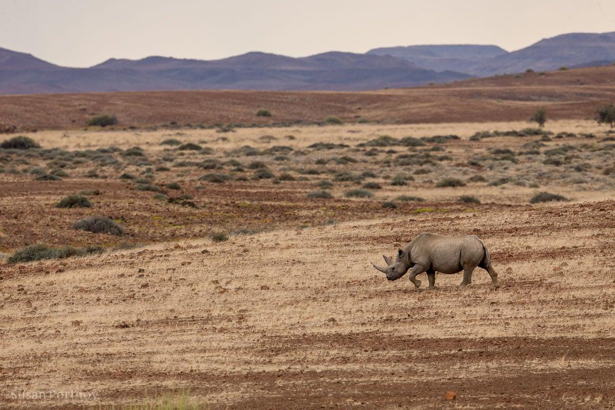 Kangombe, a black rhino near Desert Rhino Camp, Namibia
