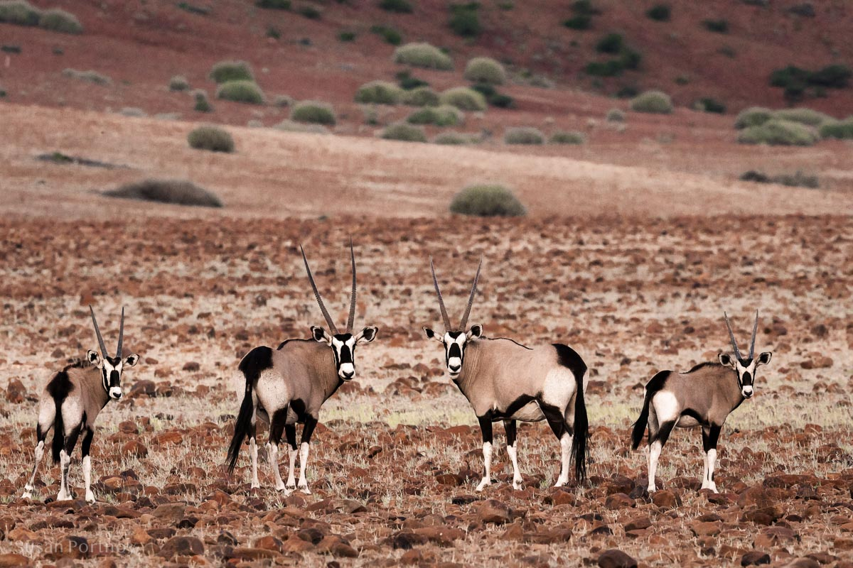 Four oryx looking at camera on rocky terrain, Damarland, Namibia.