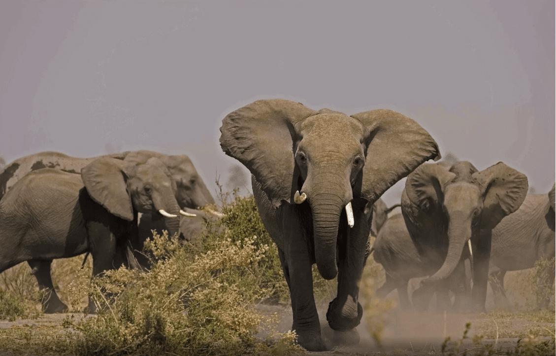 Elephants (Loxondonta Africana) charging in Botswana