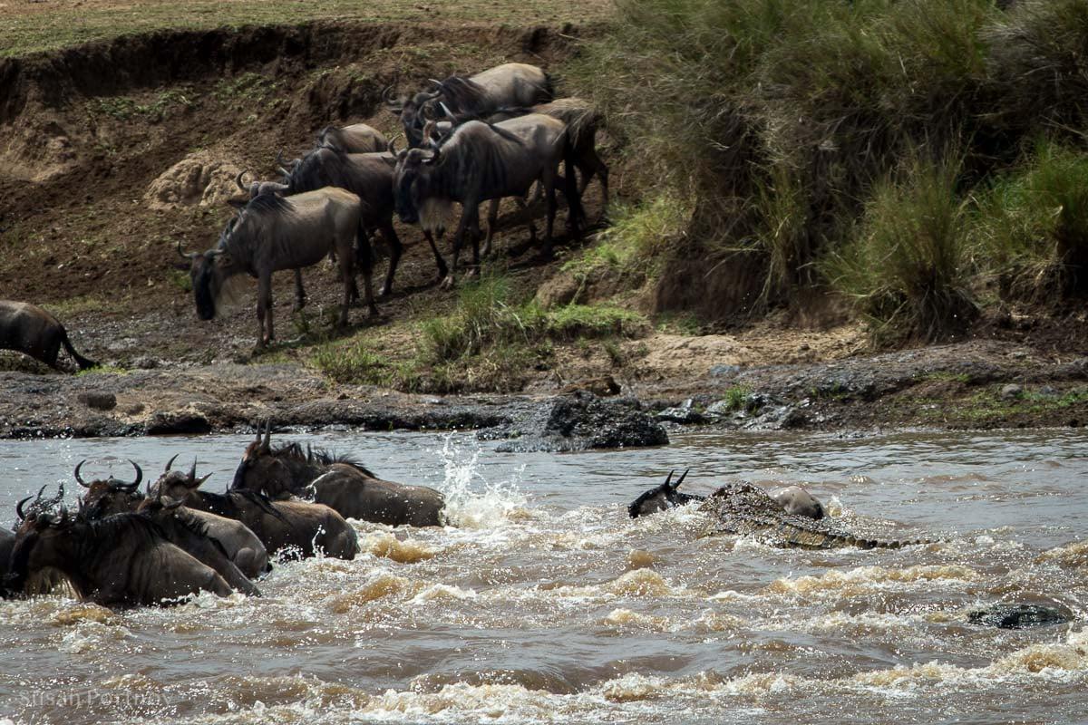 Crocodile bites a wildebeest crossing the Mara River