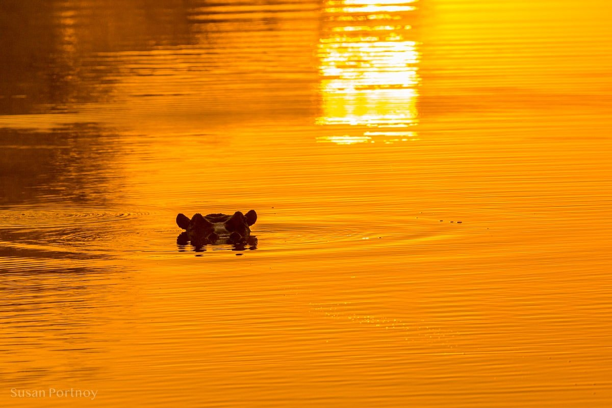 Hippo in the water at sunrise