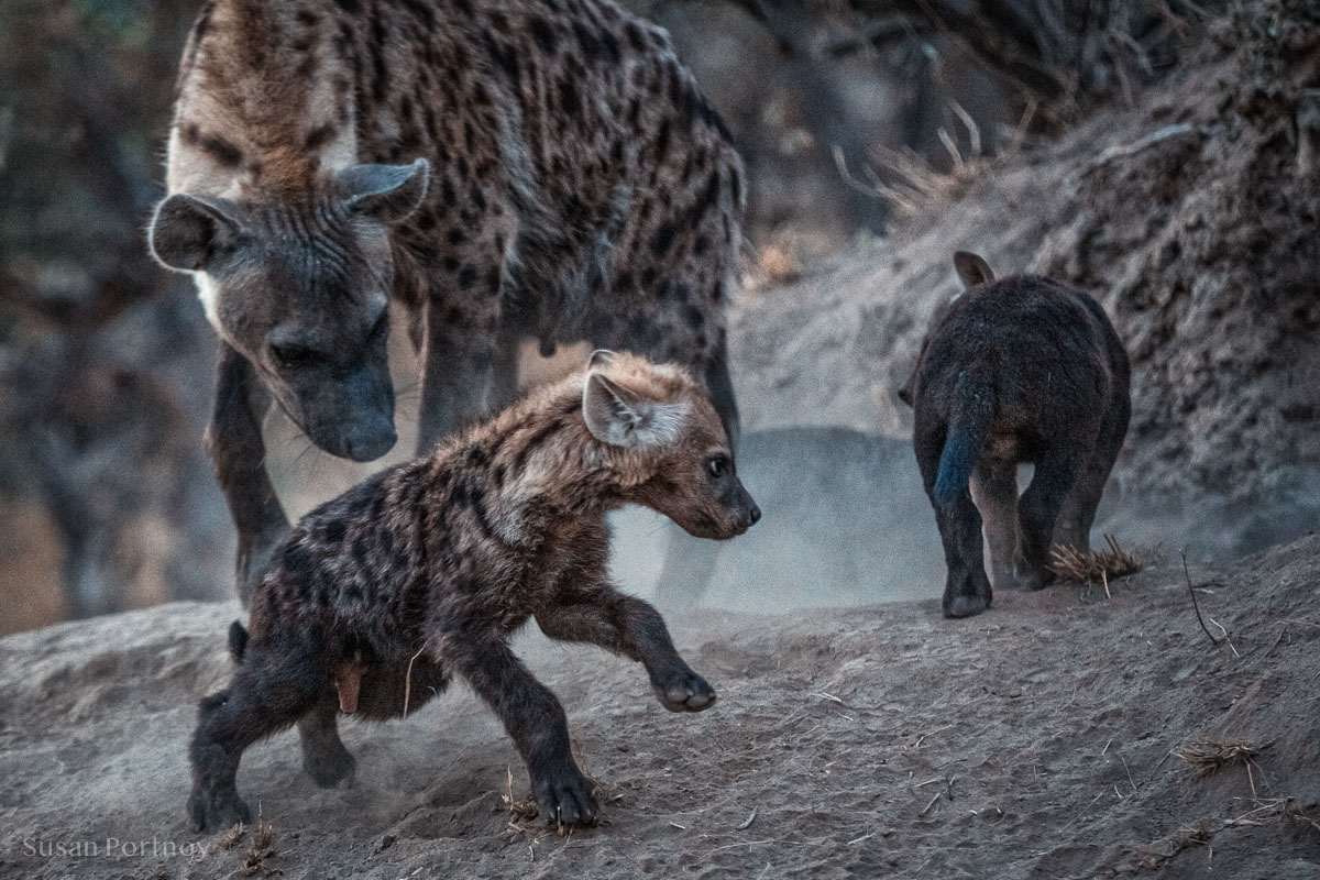 Adult hyenas and pups