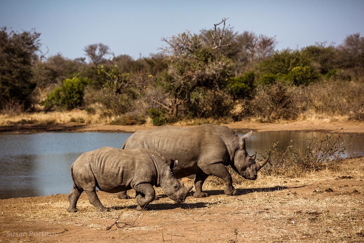 Rhino mom and her calf leaving a watering hole