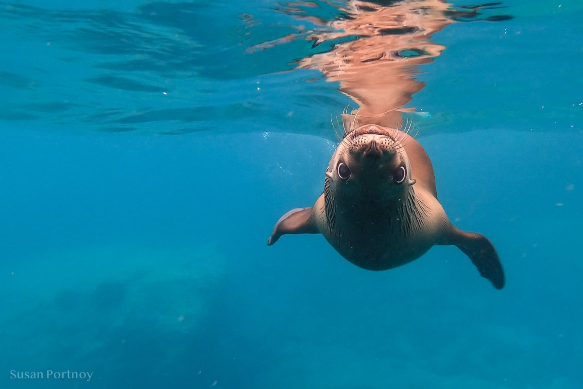 A sea lion swimming upside down toward the camera in the Sea of Cortez