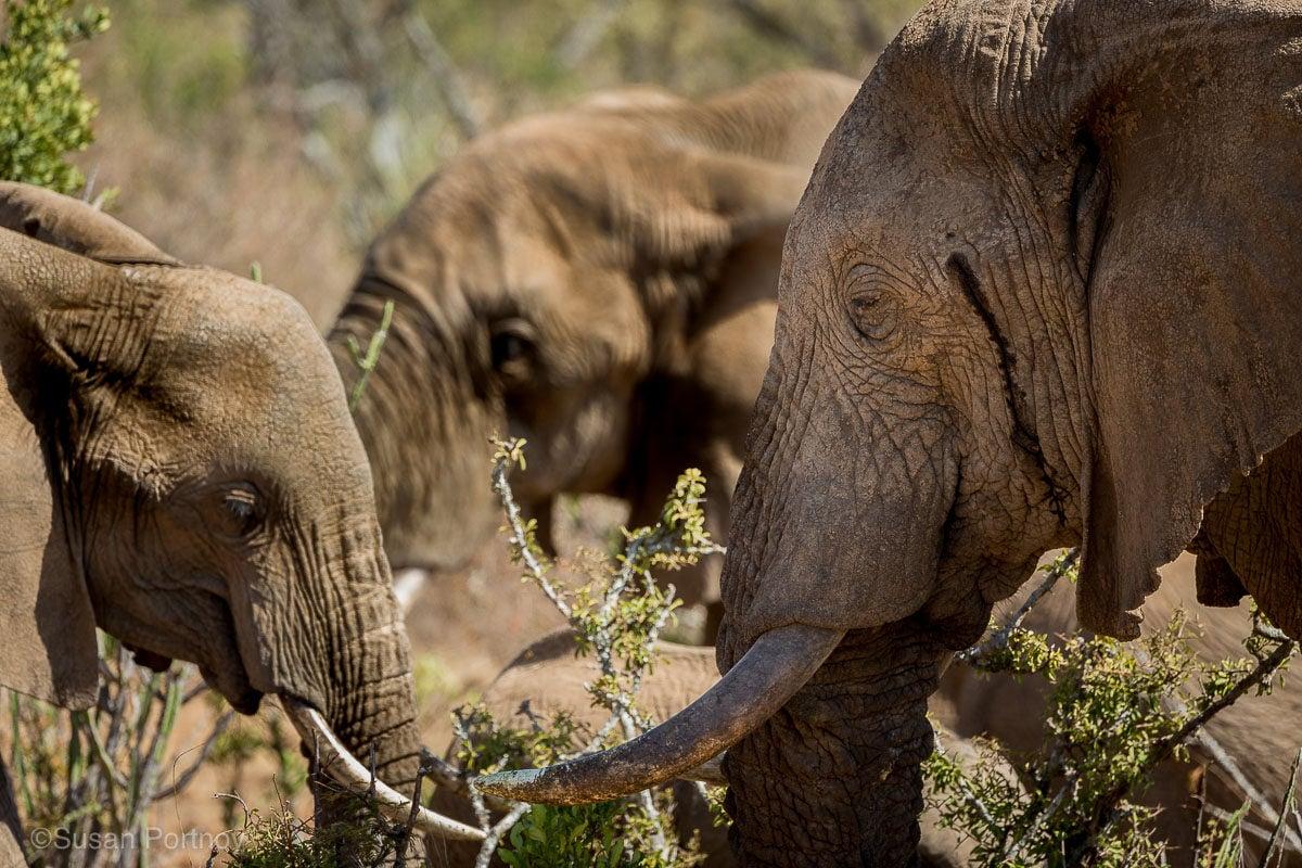 Closeup of three elephant heads in Kenya