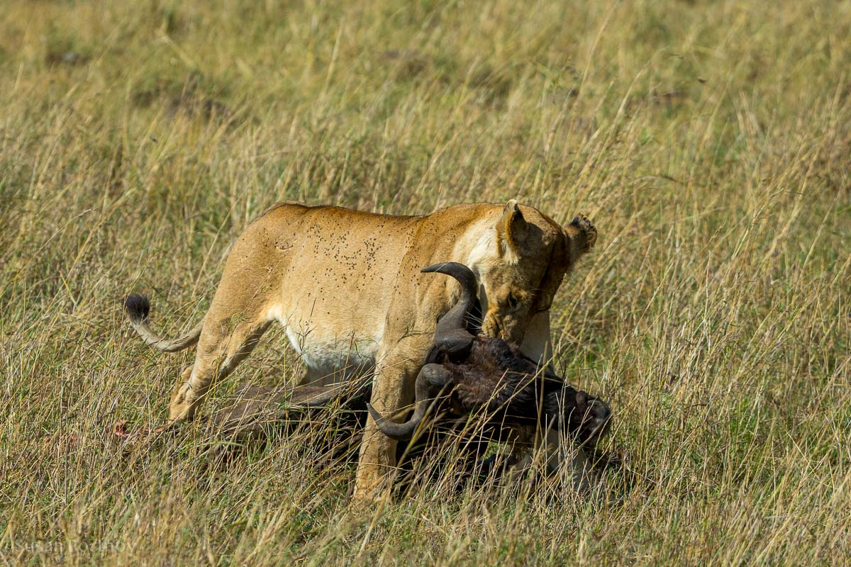 A Lion dragging a wildebeest through the high grass of Kenya