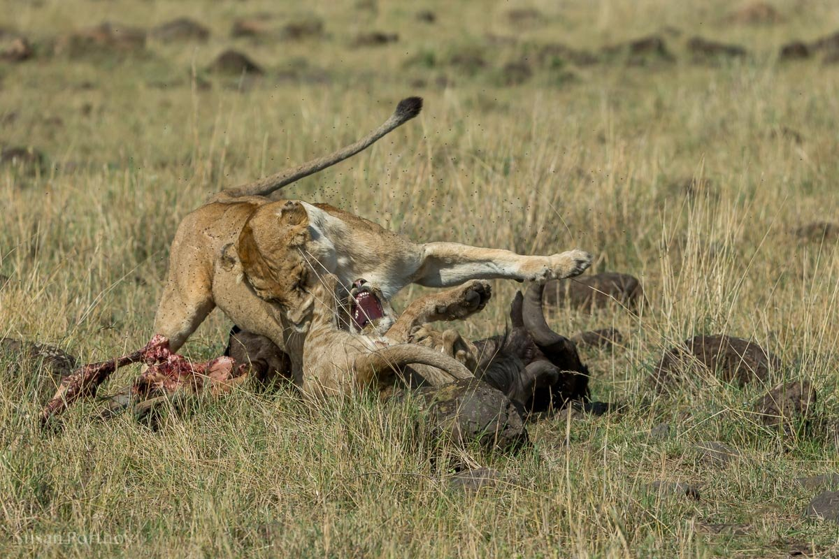 A lioness growls at a cub trying to eat a wildebeest she is dragging