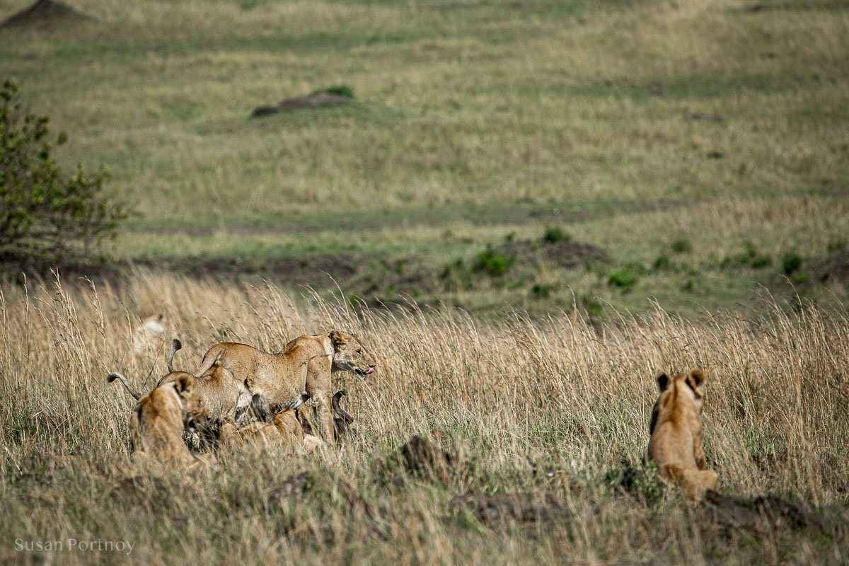 A lioness and cubs in the Masai Mara