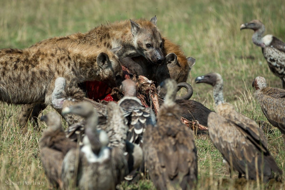 Spotted hyena eat a wildebeest carcass with vultures looking on