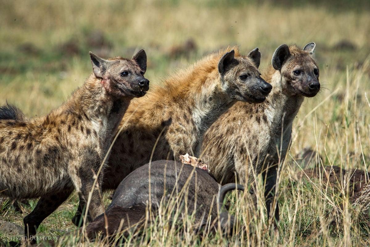 hyena around a wildebeest kill