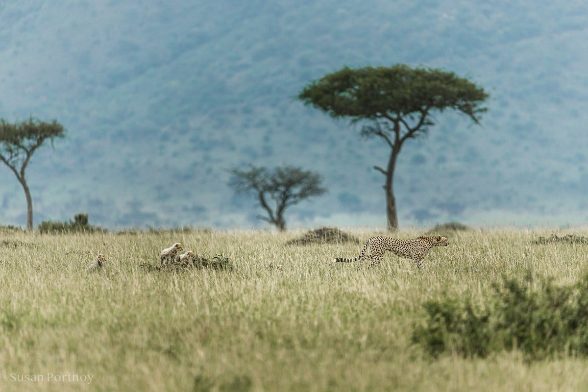 Adult female cheetah with cubs following her in the Masai Mara.