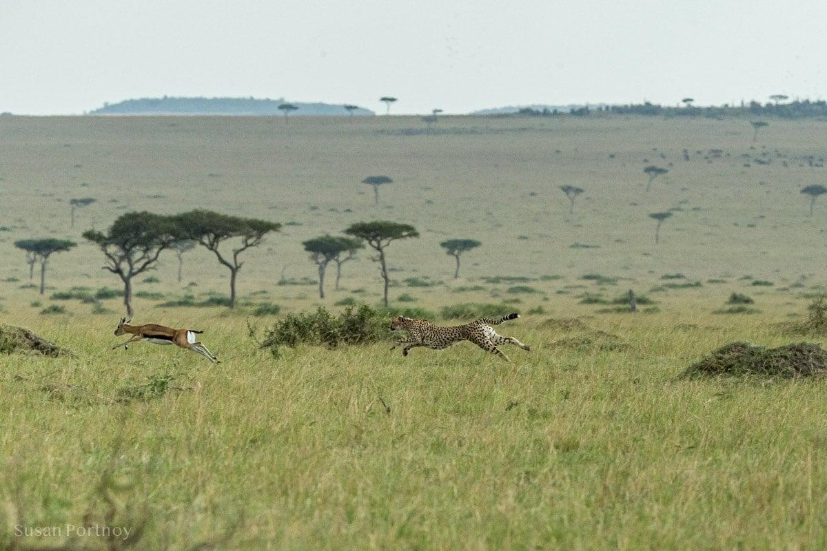 A cheetah chasing an impala