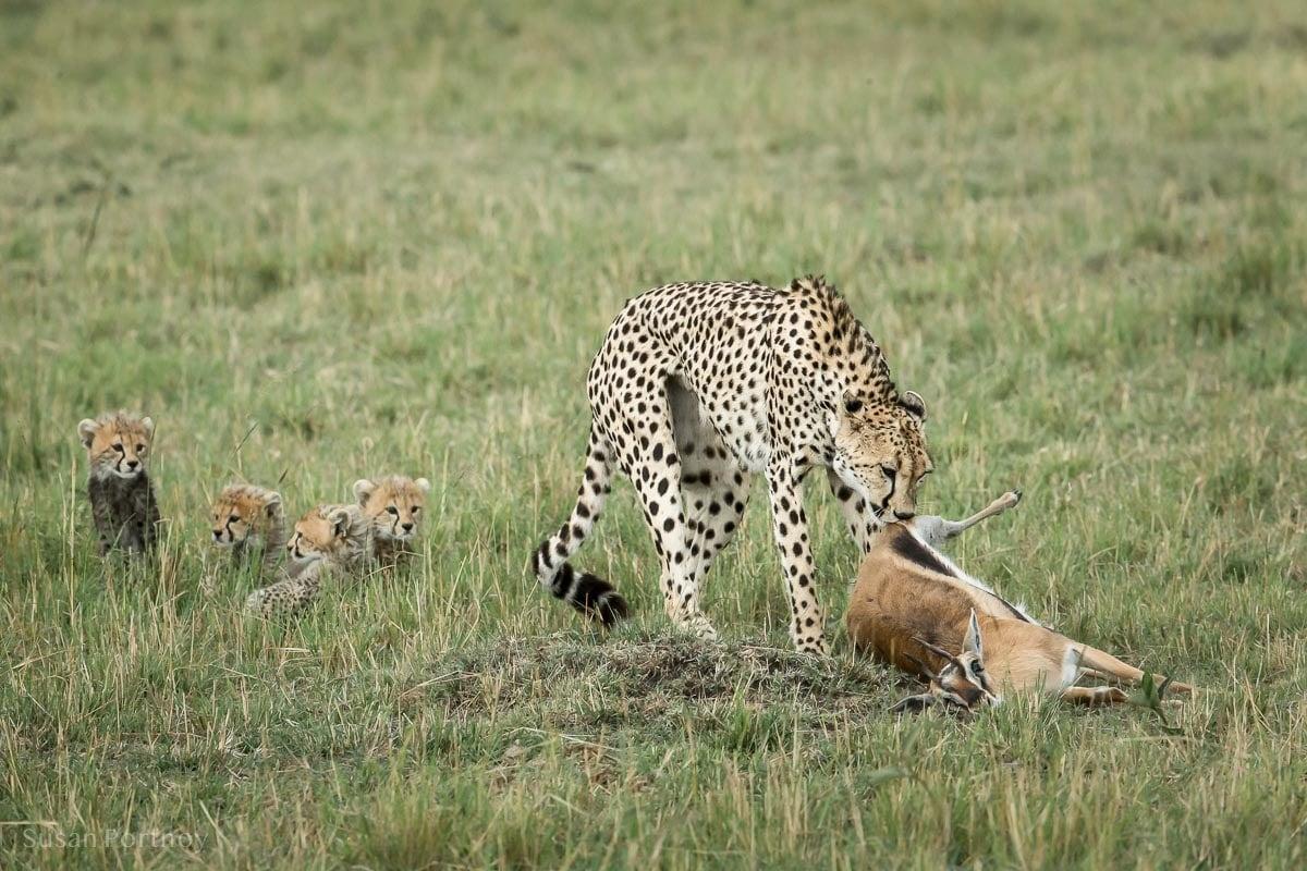 A cheetah mother dragging an impala kill toward her cubs