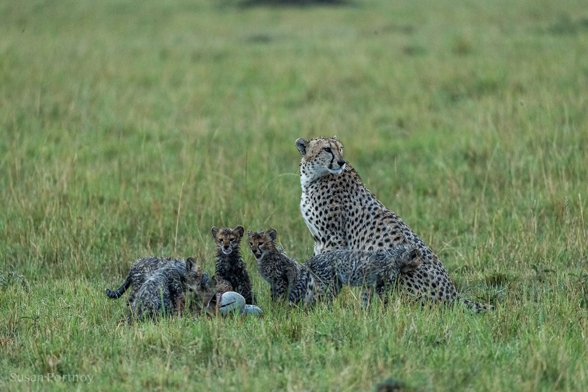 Cheetah mom sits with with her cubs in the rain on the Masai Mara