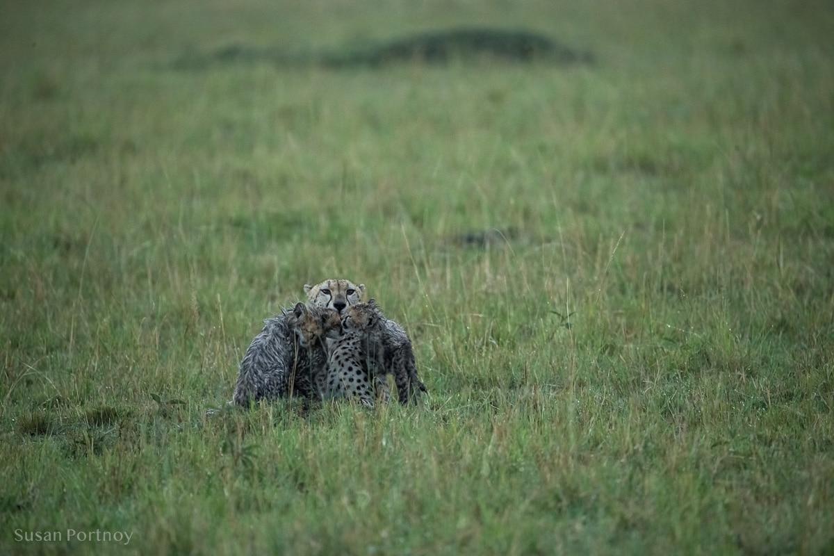 Cheetah cubs huddle around their mother in the Masai Mara - Wildlife Stories